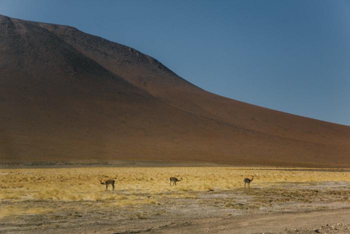 Sur Lipiez Bolivie Vicuna
